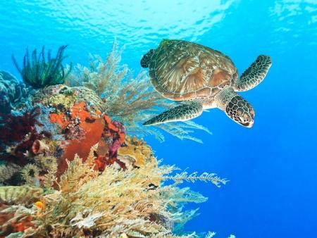 arrecife: Subacuático tortuga nadando entre los arrecifes de coral Foto de archivo