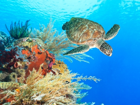Turtle swimming underwater among the coral reef photo