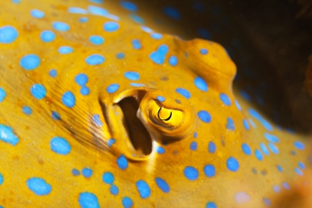 bluespotted: Macro shot of a Bluespotted stingray underwater