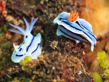 celebes: Macro shot of a two nudibranches underwater