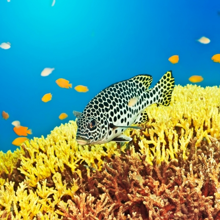 sweetlips: Underwater landscape with tropical fish Sweetlips