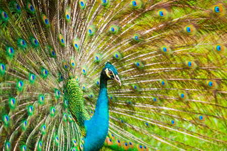 indian peafowl: The Indian peafowl male displaying
