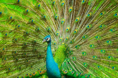 blue peafowl: The Indian peafowl male displaying