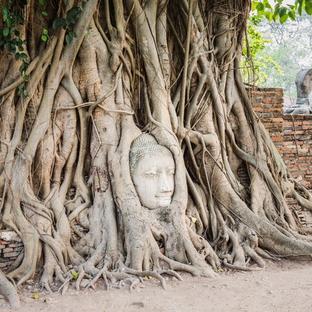 fig tree: Buddha head overgrown by fig tree in Wat Mahathat. Ayutthaya historical park