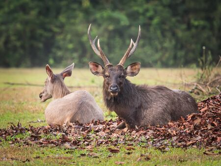 asia deer: Couple of the Sambar deers. Stock Photo