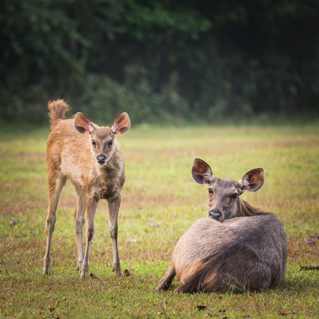 mother and baby deer: Sambar deers female and cub