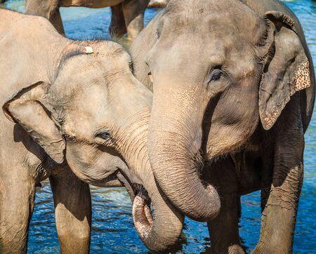 elefante: Elefantes que se bañan en un río