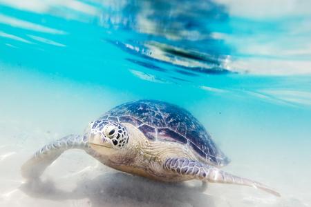 Schildpad bij Hikkaduwa strand. Sri Lanka