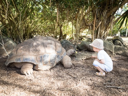 turtles love: Child feeding Aldabra giant tortoise. Mauritius