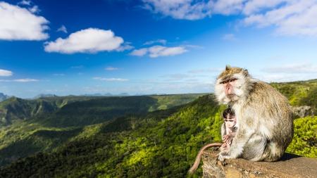 Monkeys at the Gorges viewpoint. Black River Gorges national park. Mauritius. Panorama Stock Photo