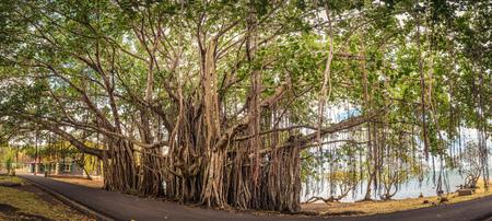 banyan tree: Big banyan tree. Mauritius island. Panorama