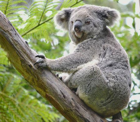 Australian koala in tree Stock Photo - 17114876