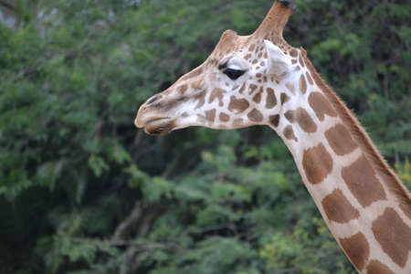 Close-up of giraffe Stock Photo - 17114879