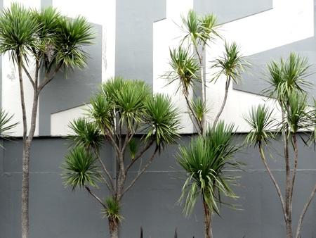 cordyline: Cabbage tree palms Wellington New Zealand