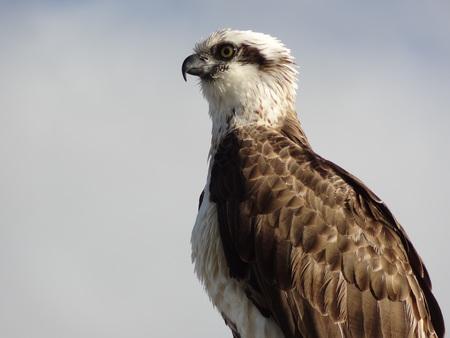 sea eagle: White bellied sea eagle close up Australia Stock Photo
