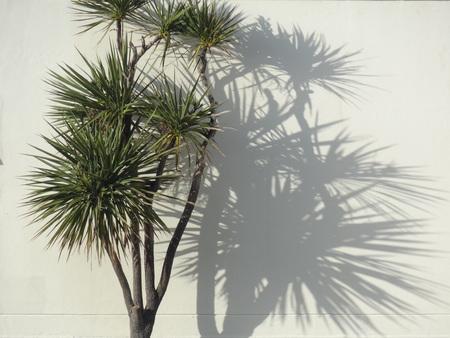 ニュージーランド キャベツ シャドウとヤシの木
