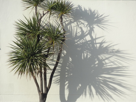 Nieuw-Zeeland kool palm met schaduw Stockfoto