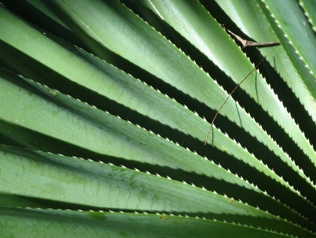 Long jagged edges of green succulent garden plant, Australia