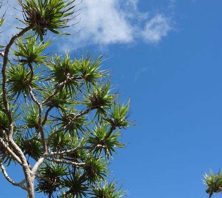 south pacific: Pandanus palms on blue sky background, Vanuatu, South Pacific