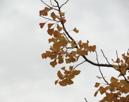 Close up of autumn foliage on tree with gray sky background