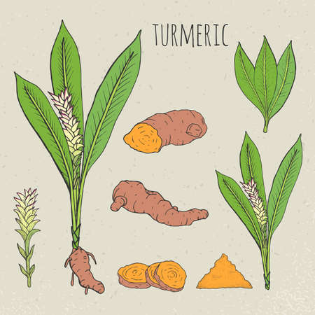 cutaway drawing: Turmeric medical botanical isolated illustration. Plant, root cutaway, leaves, spices hand drawn set. Vintage sketch colorful.