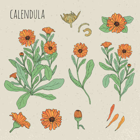 Calendula medical botanical isolated illustration. Plant, flowers, petals, leaves, seed hand drawn set. Vintage colorful sketch.