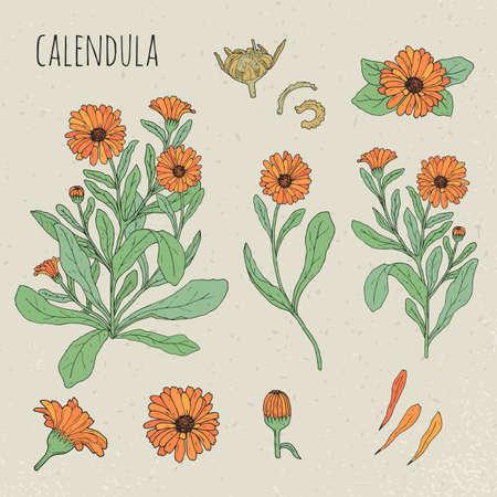 Calendula medical botanical isolated illustration. Plant, flowers, petals, leaves, seed hand drawn set. Vintage colorful sketch.