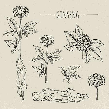 Ginseng medical botanical isolated illustration. Plant, root, leaves hand drawn set. Vintage sketch.  イラスト・ベクター素材