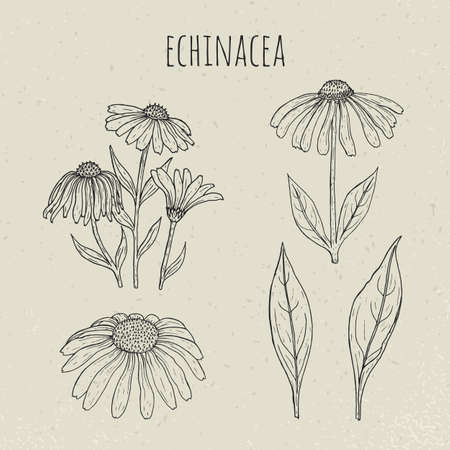 Echinacea medical botanical isolated illustration. Plant, flowers, leaves hand drawn set. Vintage outline sketch.