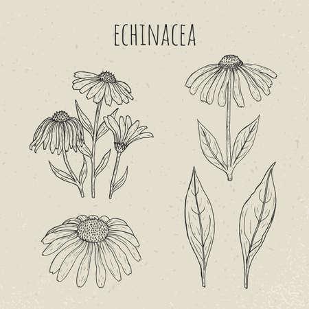 Echinacea medical botanical isolated illustration. Plant, flowers, leaves hand drawn set. Vintage outline sketch.