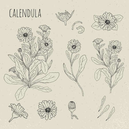 Calendula medical botanical isolated illustration. Plant, flowers, petals, leaves, seed hand drawn set. Vintage contour sketch. Ilustração