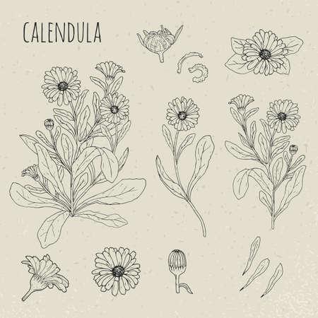 Ilustración aislada botánica médica del Calendula. Planta, flores, pétalos, hojas, conjunto dibujado a mano de semillas. Bosquejo del contorno de la vendimia. Ilustración de vector