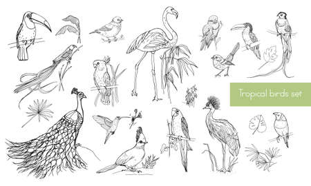 macaw: Realistic hand drawn contour collection of beautiful exotic tropical birds with palm leaves. Flamingos, cockatoo, hummingbird, toucan, peacock.