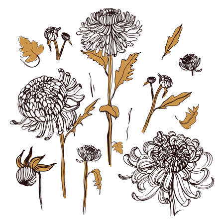 Japanese chrysanthemum set. Collection with hand drawn buds, flowers, leaves. Vintage style illustration