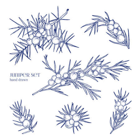 Juniper set. Detailed hand drawn branches with berries. Black and white hand drawn illustrations. Illustration