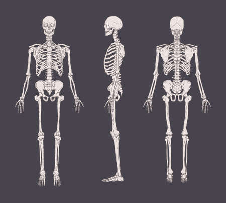 Set of realistic skeletons isolated on gray background. Anterior, lateral and posterior view. Ilustracja