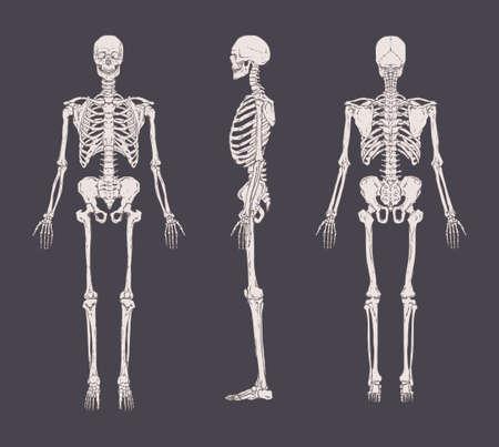 Set van realistische skeletten geïsoleerd op een grijze achtergrond. Voor-, zij- en achteraanzicht. Vector Illustratie