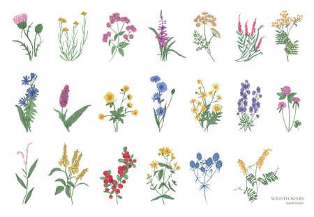 Colección de hermosas hierbas silvestres, plantas herbáceas de flores, flores en flor, arbustos y subshrubs aislados sobre fondo blanco. Dibujado a mano detallada ilustración vectorial botánica. Ilustración de vector