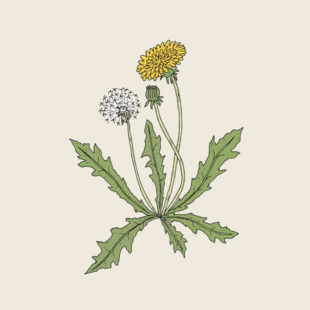 Elegant detailed drawing of dandelion plant with yellow flower, seed head and bud growing on stem and leaves. Beautiful wildflower hand drawn in vintage style. Botanical vector illustration
