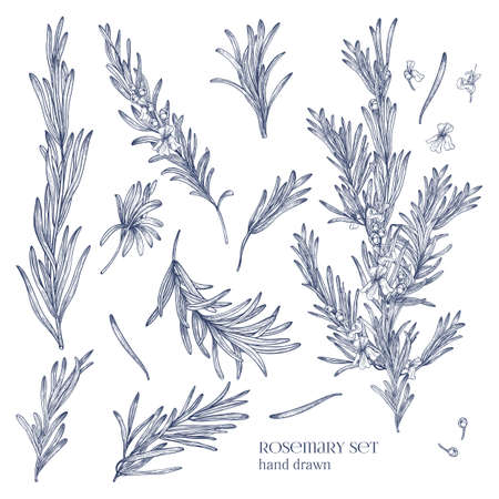 Collection of monochrome drawings of rosemary plants with flowers isolated on white background. Fragrant herb hand drawn in retro style. View from different angles. Botanical vector illustration. Vettoriali