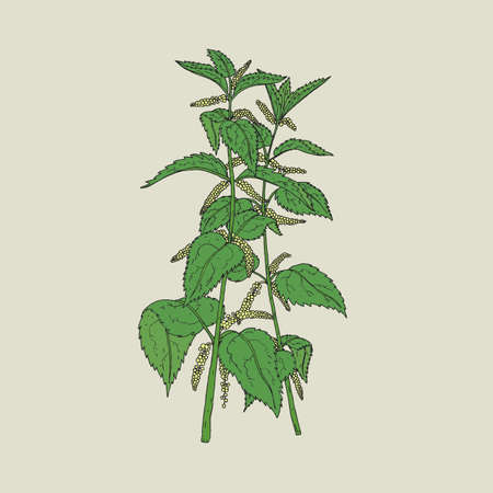 herbaceous: Colorful detailed drawing of nettle with blooming yellow flowers and green leaves. Beautiful edible herbaceous plant hand drawn in retro style. Gorgeous flowering herb. Natural vector illustration.