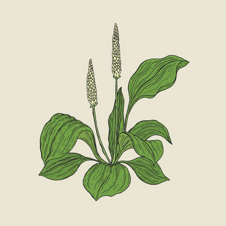 Detailed botanical drawing of plantain with yellow flowers and green leaves. Flowering herbaceous plant hand drawn in retro style. Medicinal herb used for herbal medicine. Vector illustration.