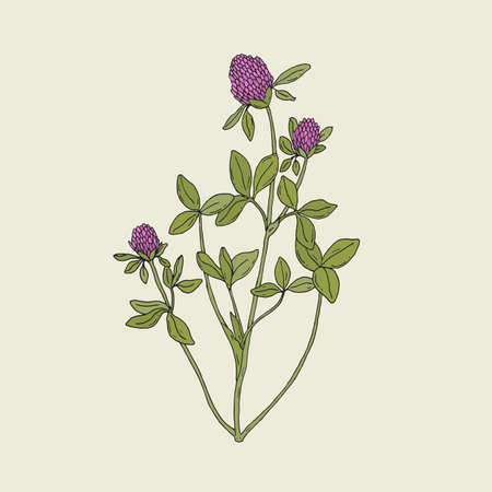 red clover: Elegant drawing of red clover with pink blooming flowers and green trifoliate leaves. Gorgeous wild herbaceous plant used in phytotherapy hand drawn in antique style. Botanical vector illustration.
