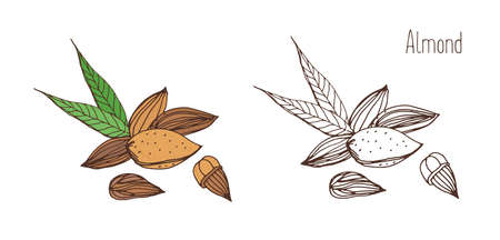Beautiful colored and monochrome drawings of almond fruits in shell and shelled with pair of leaves. Delicious edible drupe or nut hand drawn in elegant vintage style. Natural vector illustration Illustration