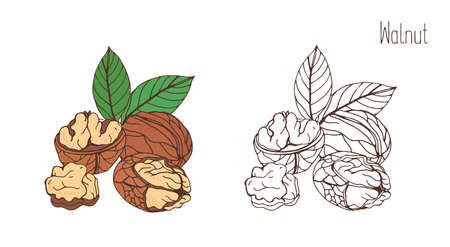 Colored and monochrome drawings of walnut in shell and shelled with pair of leaves. Delicious edible drupe or nut hand drawn in elegant vintage style. Natural vector illustration.