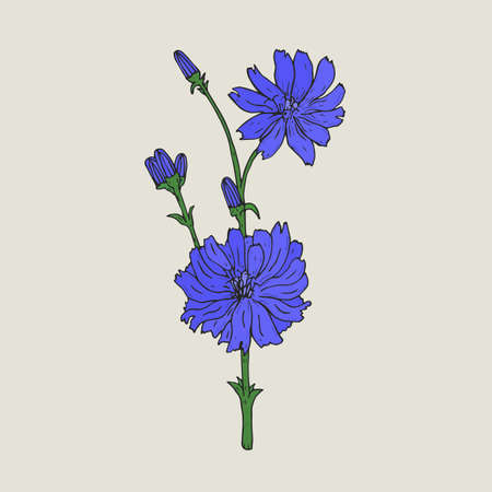 herbaceous: Realistic botanical drawing of chicory with purple flowers and buds growing on green stem. Elegant medicinal herbaceous flowering plant hand drawn in antique style. Natural vector illustration. Illustration