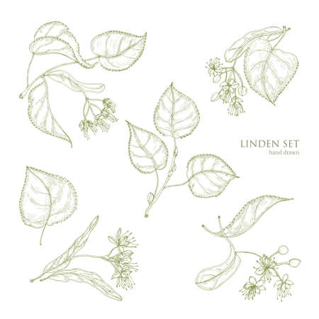 Realistic natural drawings of linden leaves and beautiful tender flowers. Parts of blooming tree hand drawn with contour lines, view from different angles. Gorgeous floral vector illustration