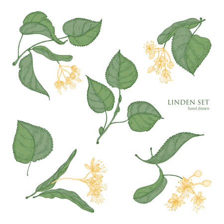 Beautiful detailed botanical drawings of linden green leaves and blooming yellow flowers. Hand drawn parts of flowering tree, view from different angles. Natural realistic vector illustration Illustration