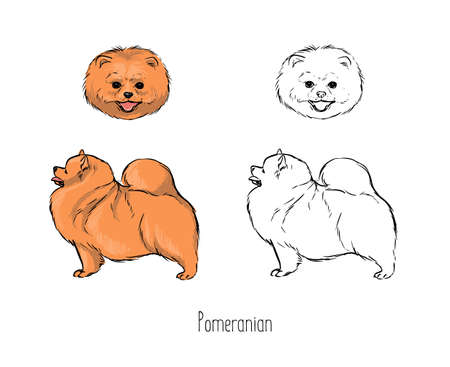 Contour drawings of head and full body of Pomeranian Spitz, front and side views.