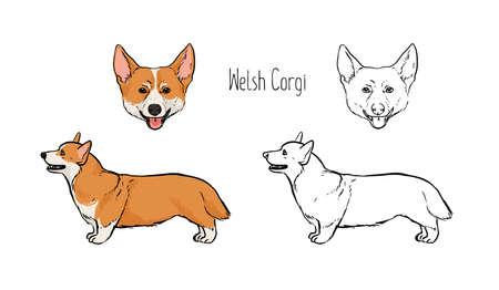 Collection of contour drawings of head and full body of Pembroke Welsh Corgi, front and side views. Illustration